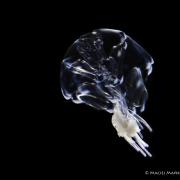 rurkopław z gatunku Hippopodius hippopus